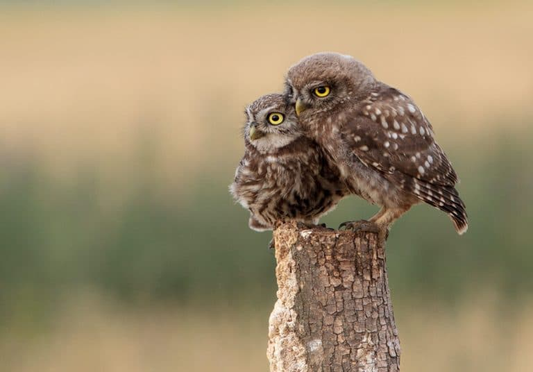 A parent owl and baby owl sit on a stump